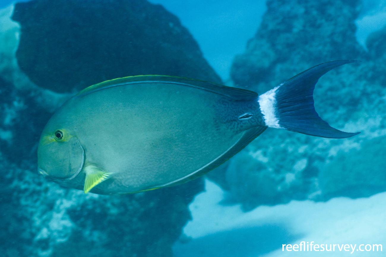Acanthurus grammoptilus, Coral Sea, Australia,  Photo: Ian Shaw