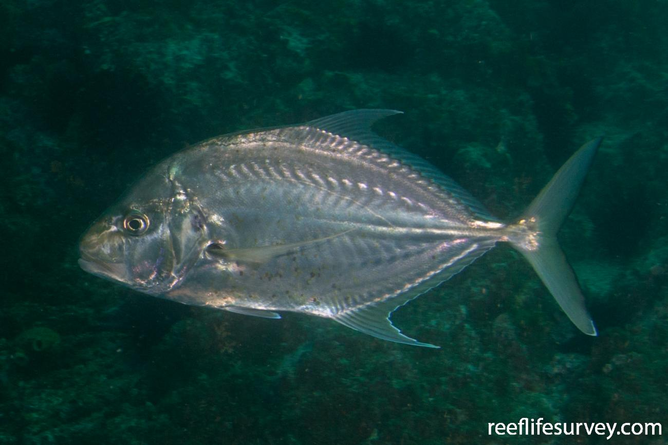Carangoides chrysophrys, NSW, Australia,  Photo: Rick Stuart-Smith
