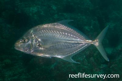 Carangoides chrysophrys: NSW, Australia,  Photo: Rick Stuart-Smith