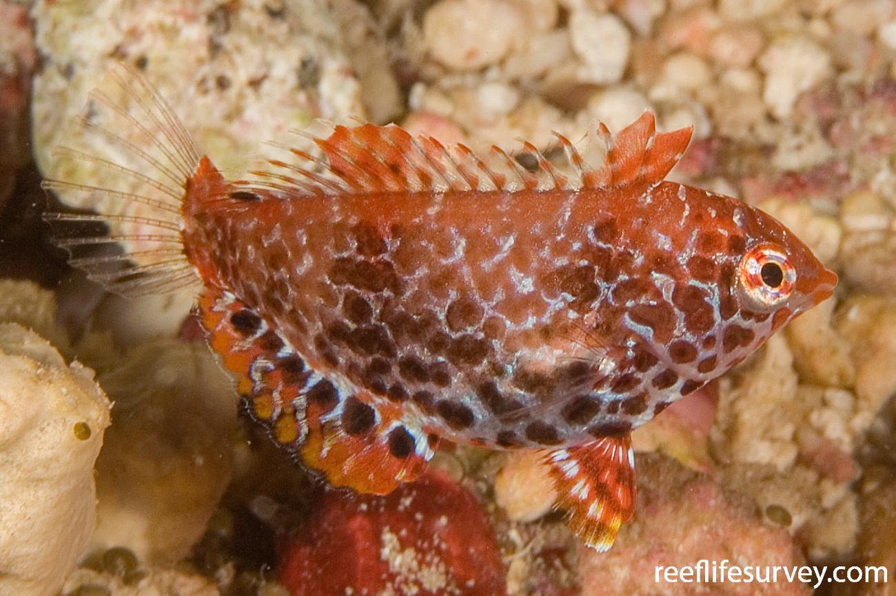 Macropharyngodon meleagris, Juvenile, Ha'apai Is, Tonga,  Photo: Andrew Green