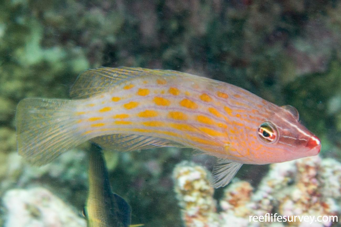 Pseudocheilinus octotaenia,  Photo: Rick Stuart-Smith
