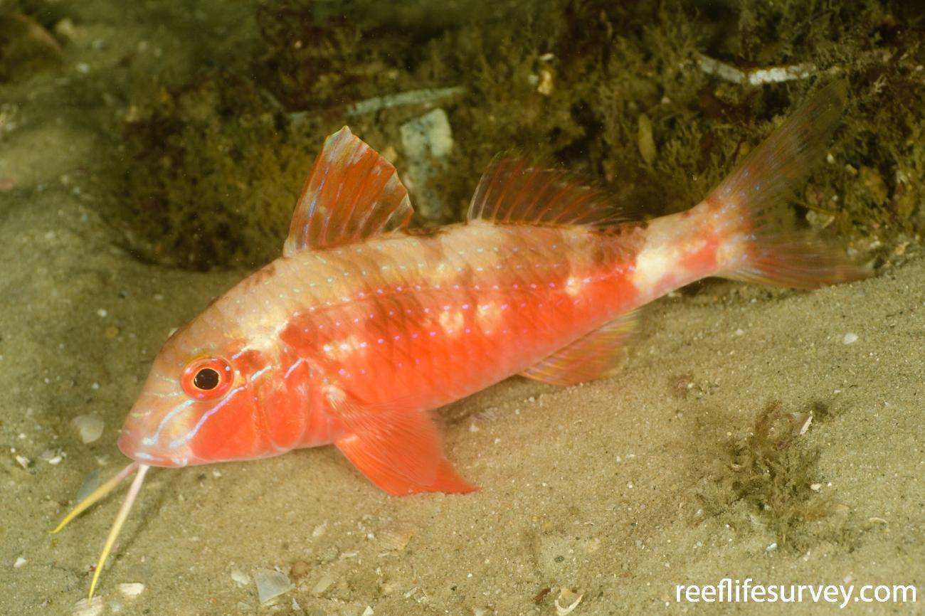 Upeneichthys lineatus, Port Stephens, NSW,  Photo: Ian Shaw