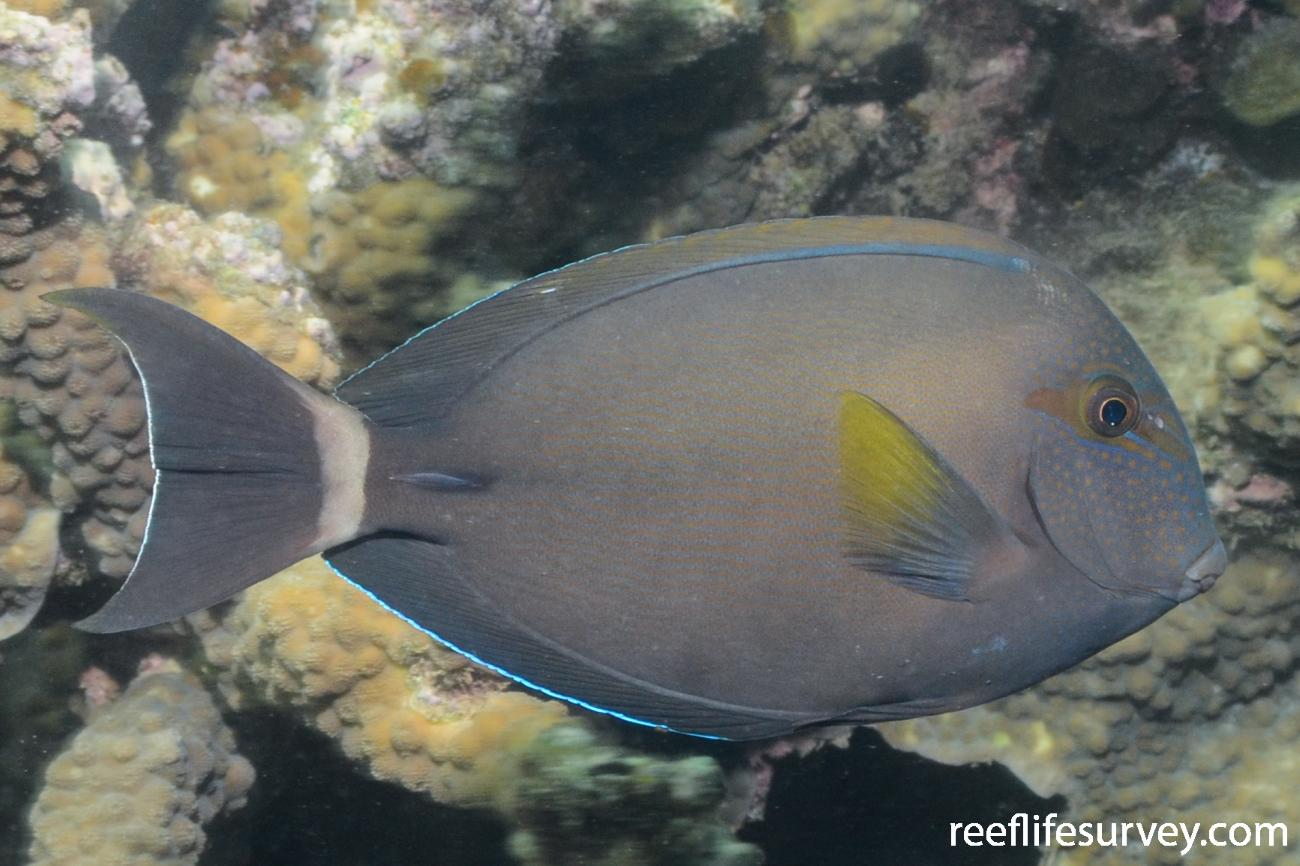 Acanthurus grammoptilus,  Photo: Graham Edgar