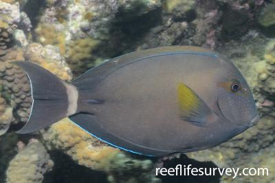 Acanthurus grammoptilus:  Photo: Graham Edgar