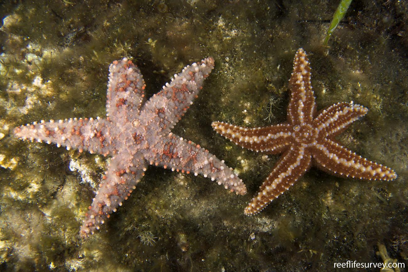 Uniophora granifera, With U nuda, right. Chain of Bays, SA,  Photo: Andrew Green