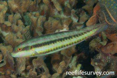 Halichoeres bivittatus: Bocas del Toro, Panama,  Photo: Rick Stuart-Smith