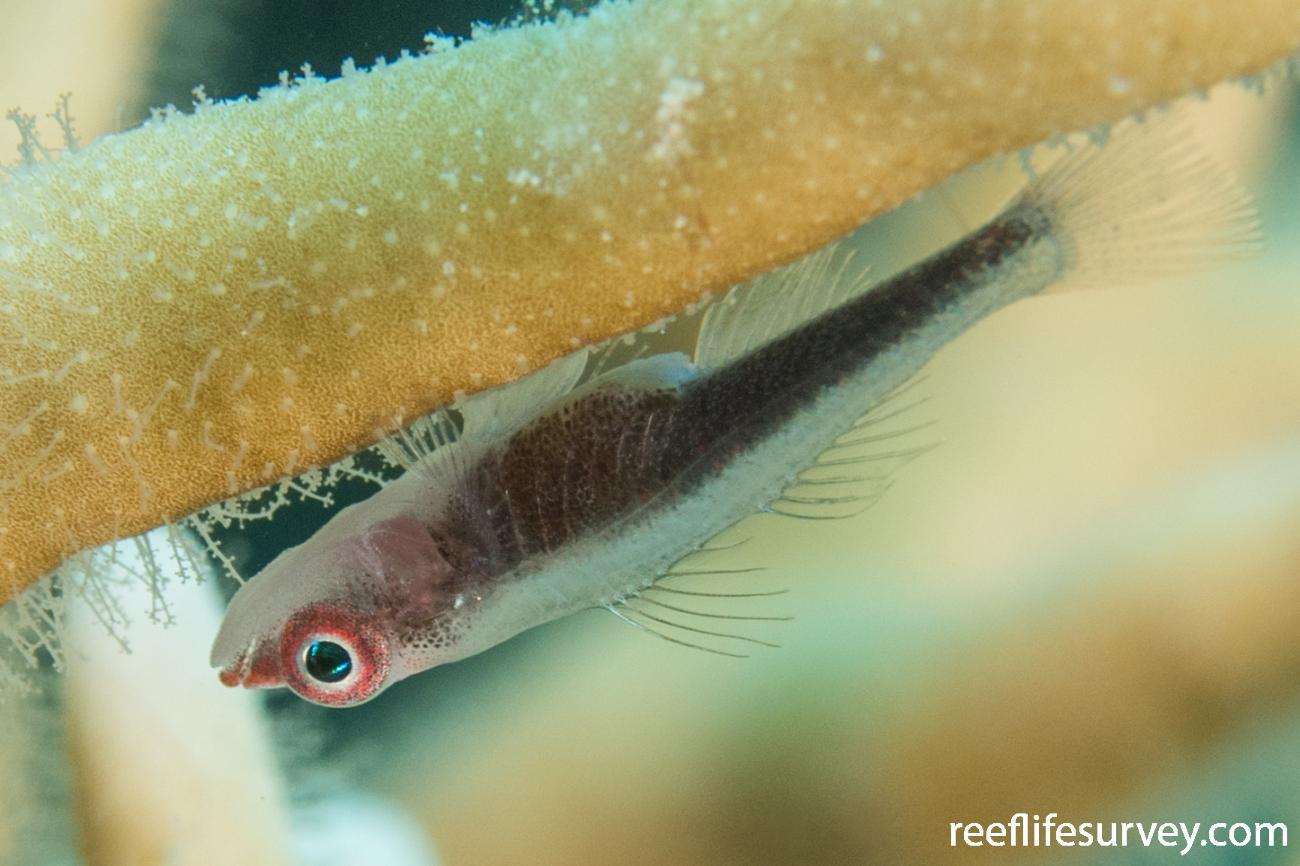 Bryaninops nexus, QLD, Australia,  Photo: Rick Stuart-Smith