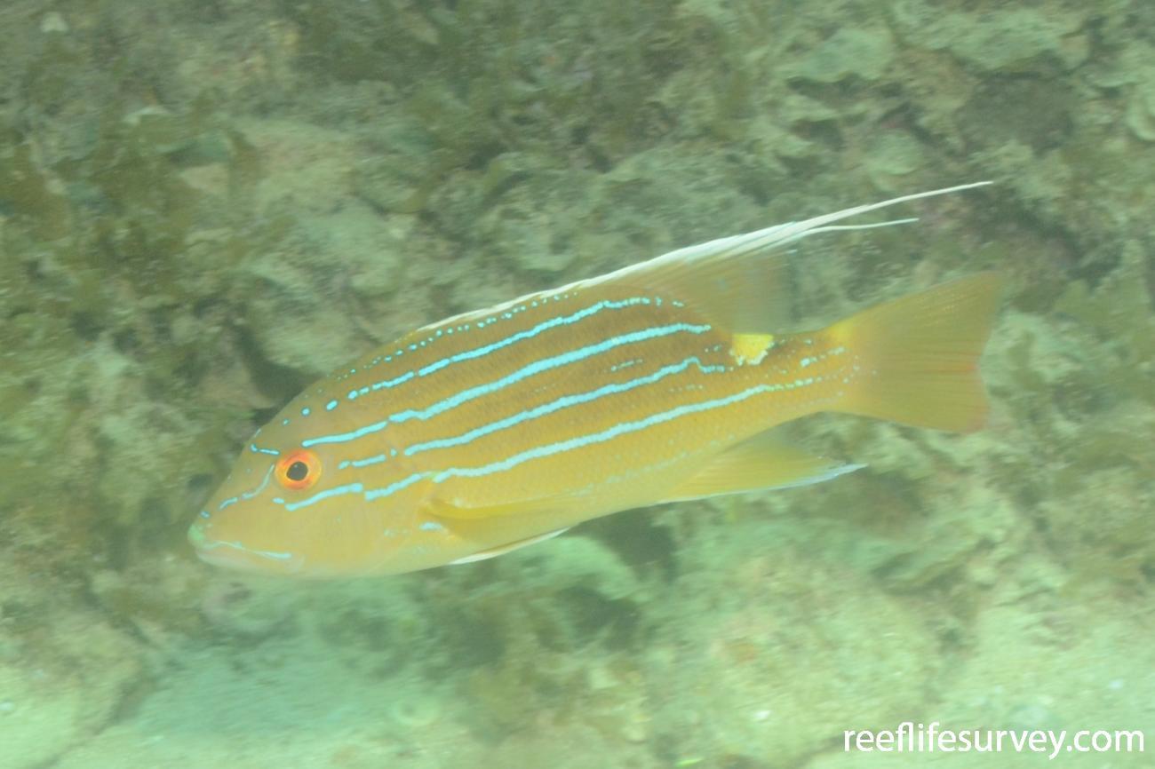 Symphorus nematophorus, Montebello Islands, WA,  Photo: Graham Edgar