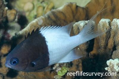Chromis iomelas: Adult.  Photo: Rick Stuart-Smith