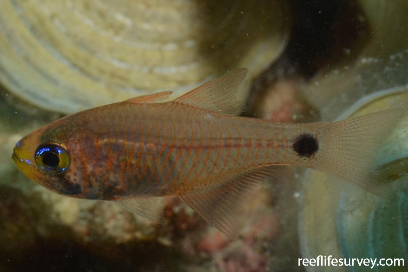 Taeniamia fucata, Juvenile, Great Barrier Reef, Cairns, Australia,  Photo: Joe Shields
