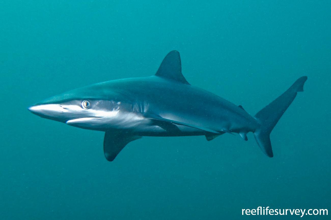 Carcharhinus obscurus,  Photo: John Turnbull
