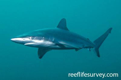 Carcharhinus obscurus:  Photo: John Turnbull