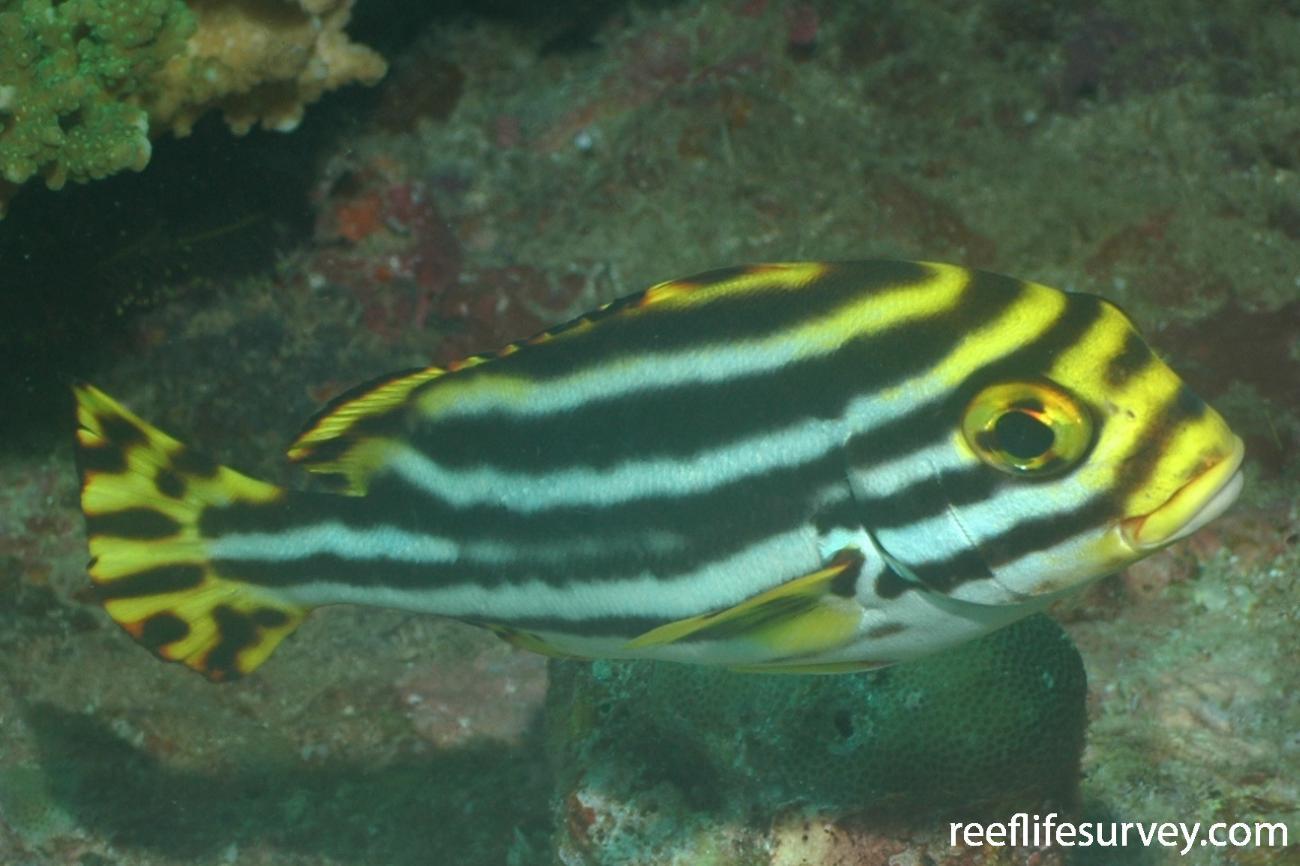Plectorhinchus vittatus, Juvenile, Indonesia,  Photo: Rick Stuart-Smith