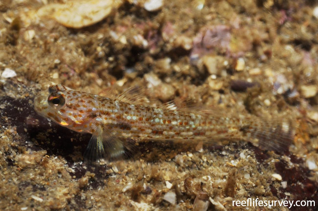 Istigobius hoesei, Juvenile, Sydney, NSW,  Photo: Rick Stuart-Smith