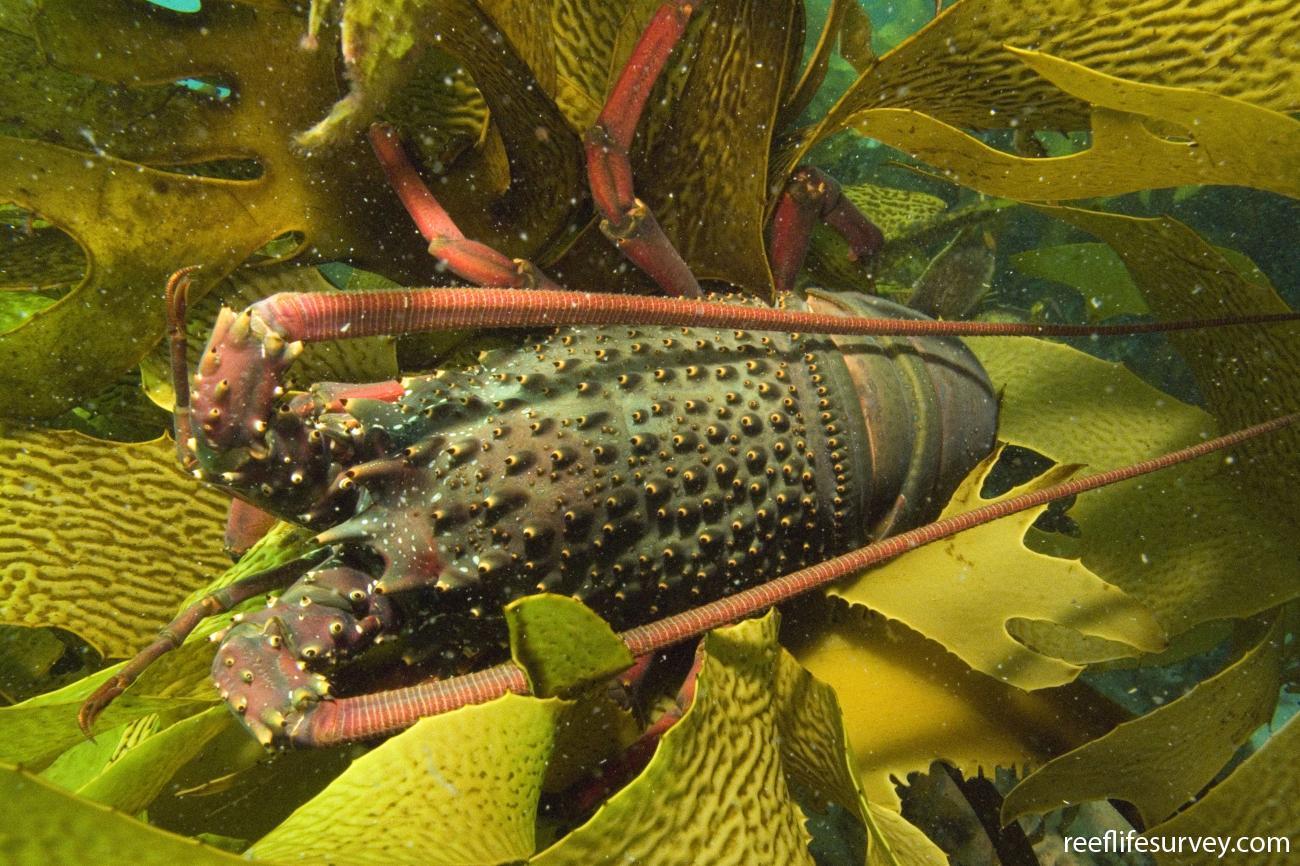 Sagmariasus verreauxi, Juvenile, Port Stephens, NSW,  Photo: Andrew Green