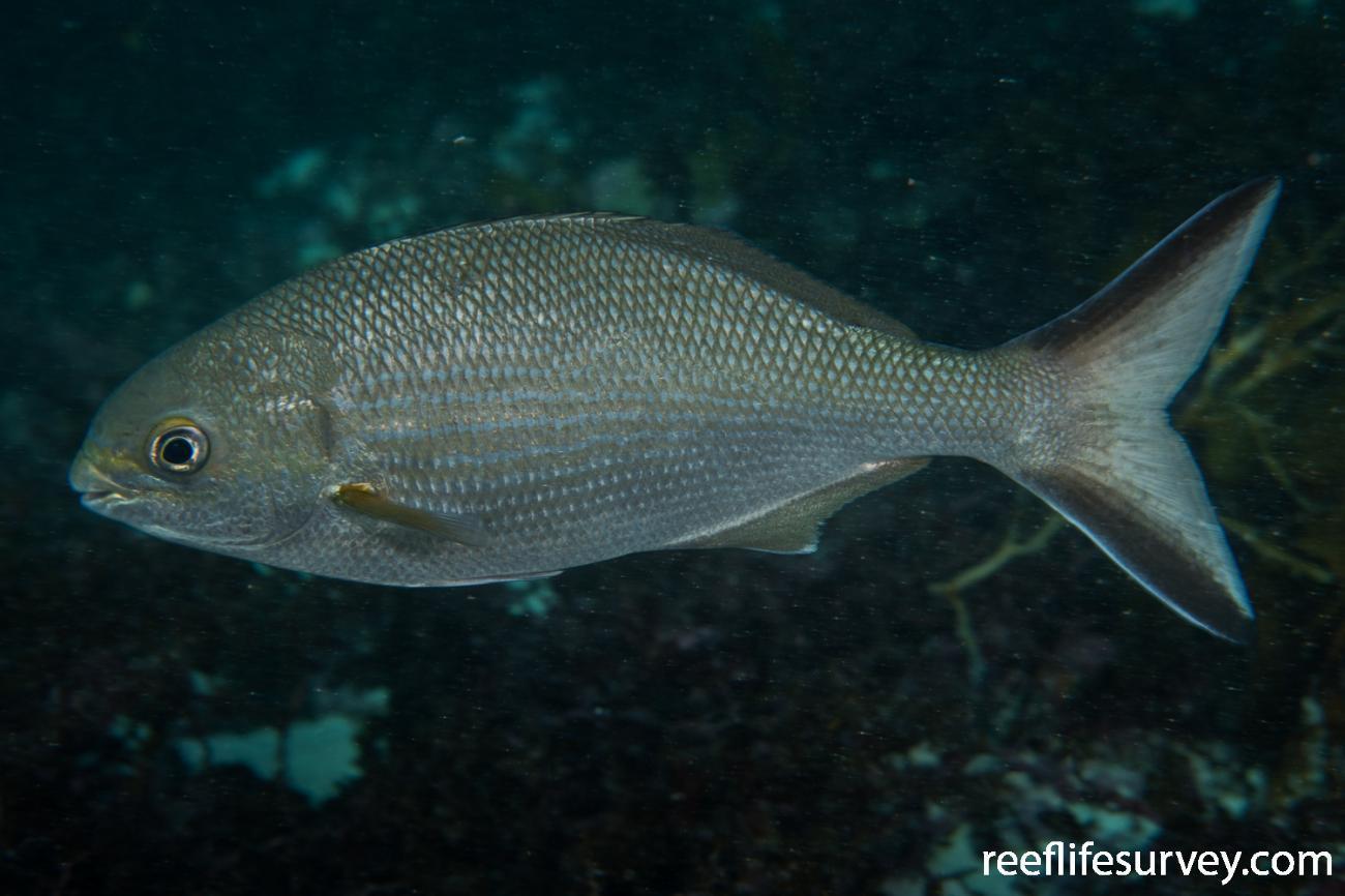 Kyphosus cornelii, Rottnest Island, WA,  Photo: Rick Stuart-Smith