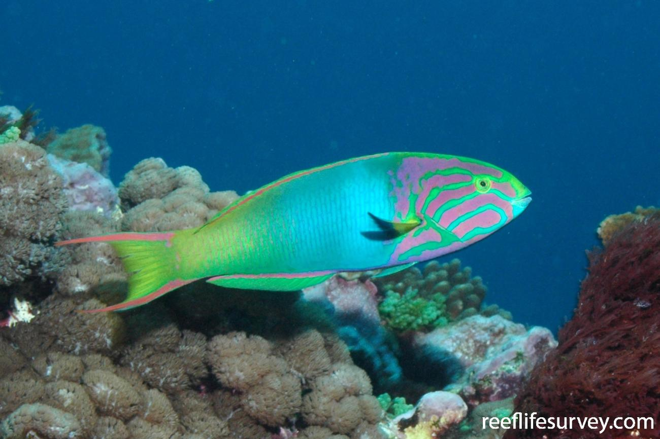 Thalassoma lutescens, Male, Lord Howe Island, NSW, Australia,  Photo: Rick Stuart-Smith
