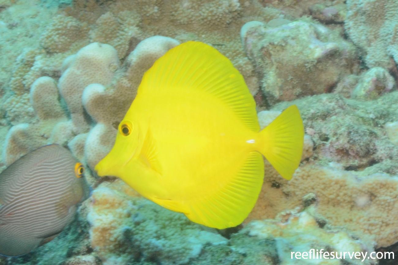 Zebrasoma flavescens, Hawaii,  Photo: Graham Edgar
