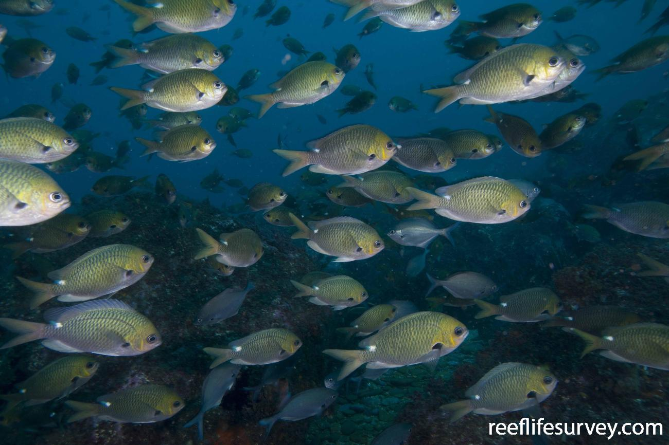 Chromis hypsilepis, Jervis Bay, NSW,  Photo: Andrew Green