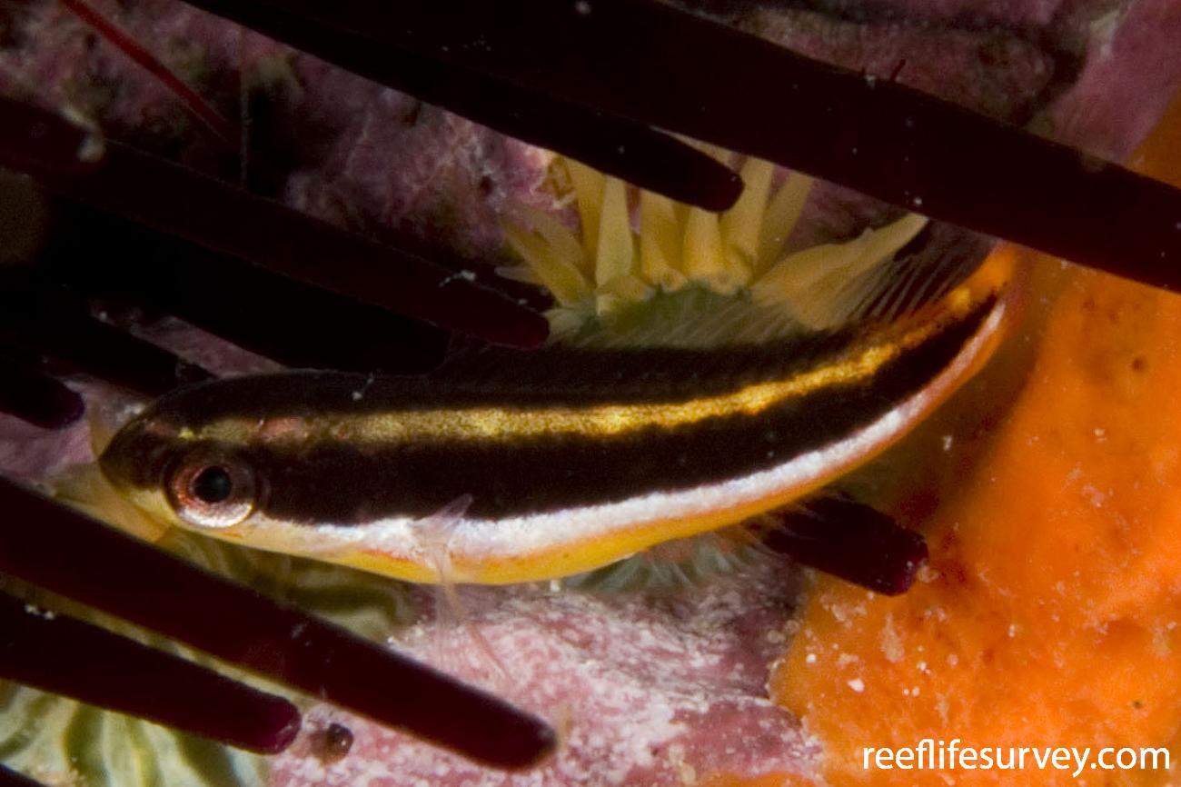 Thalassoma amblycephalum, Juvenile, Sydney, NSW,  Photo: Andrew Green