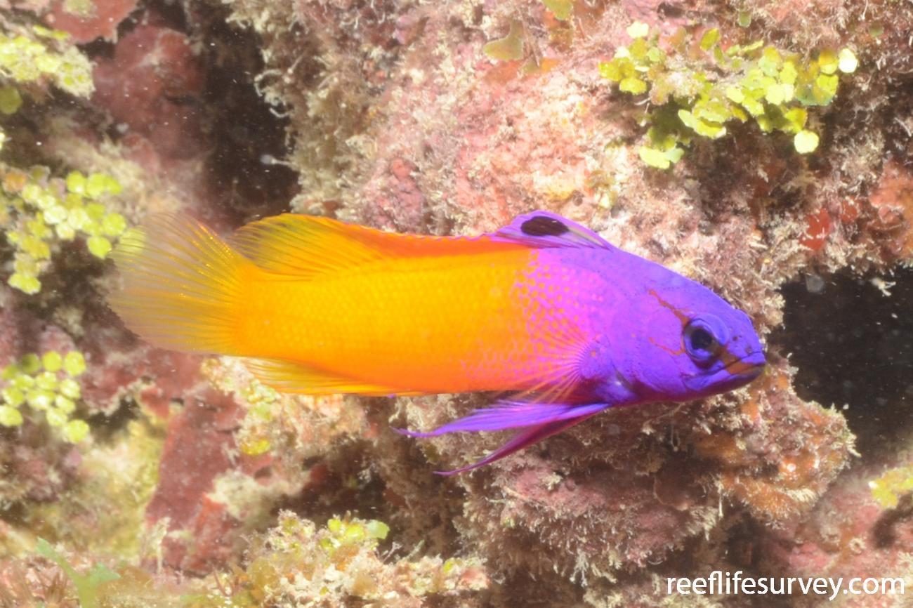 Gramma loreto, Florida Keys, USA,  Photo: Graham Edgar