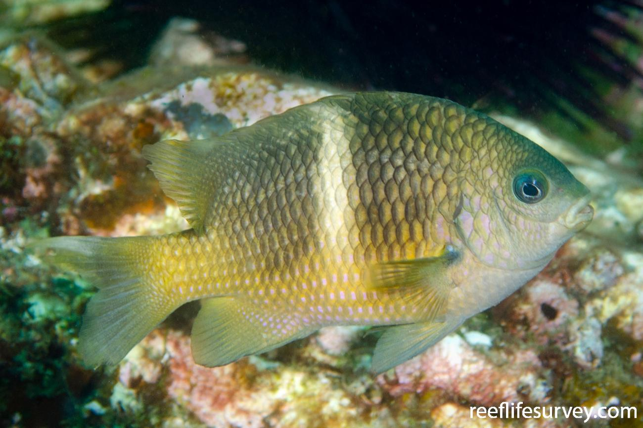 Plectroglyphidodon leucozonus, Adult, Nth Solitary Is, NSW,  Photo: Ian Shaw