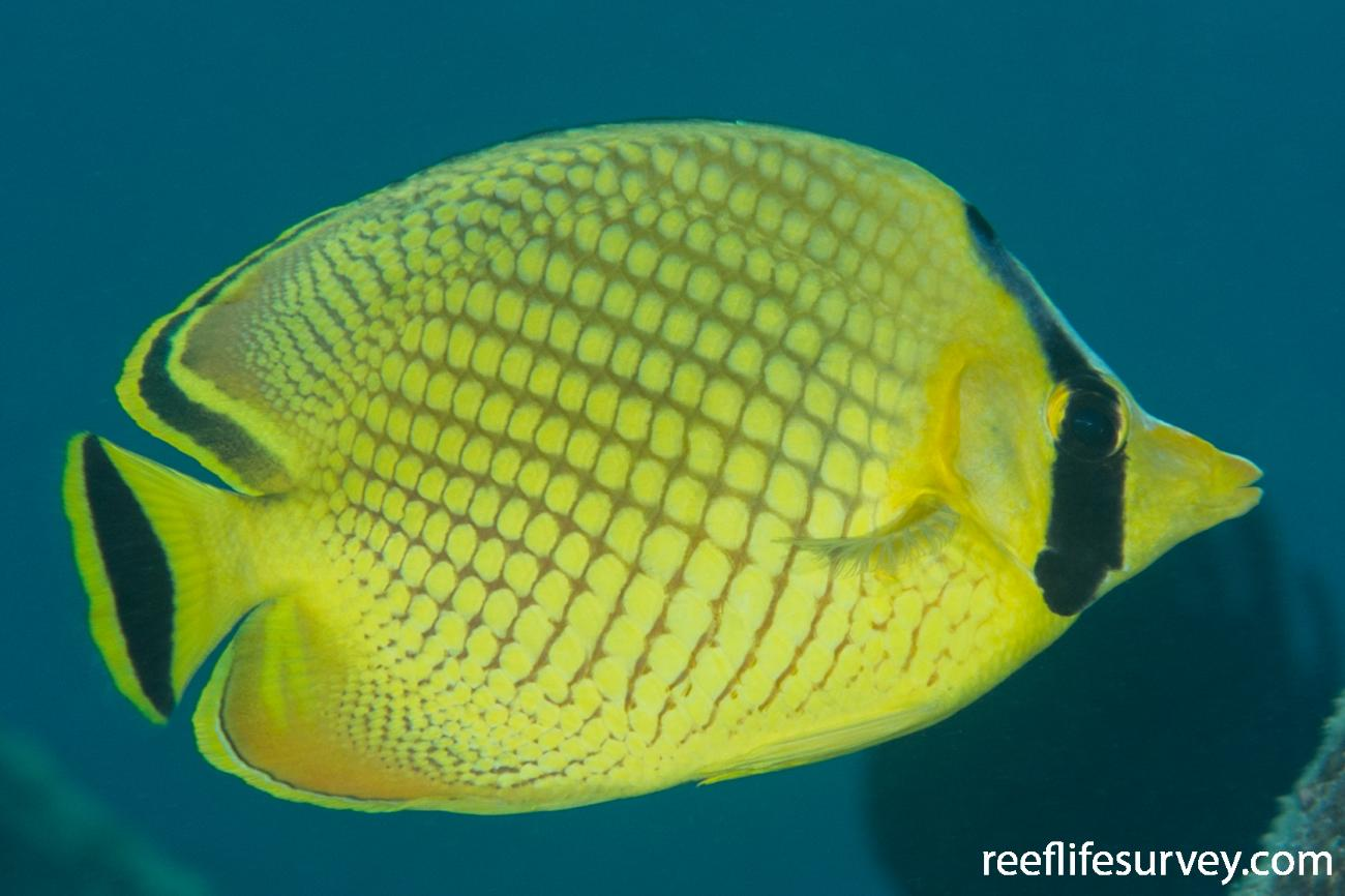 Chaetodon rafflesii, Adult.  Photo: Rick Stuart-Smith