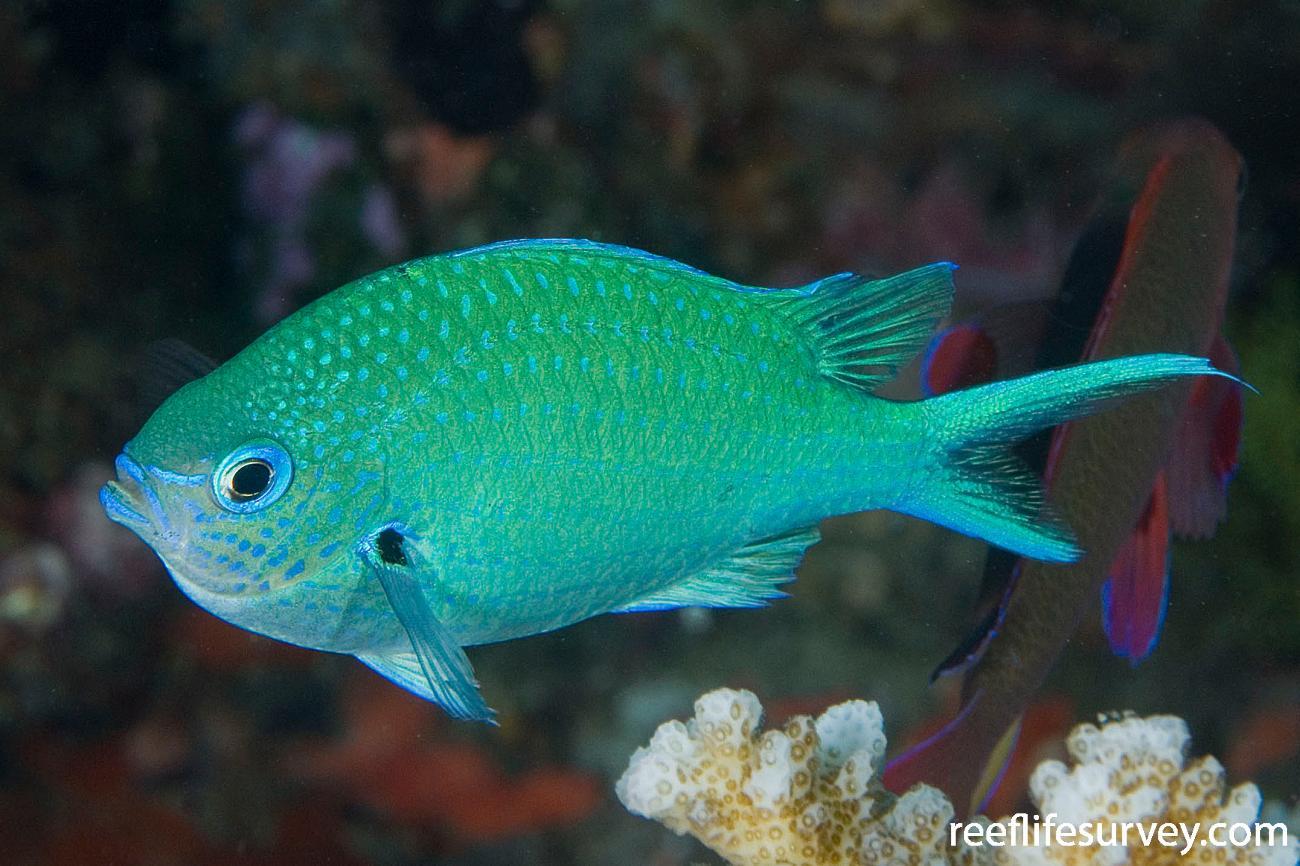 Chromis atripectoralis, Naigani Is, Fiji,  Photo: Andrew Green