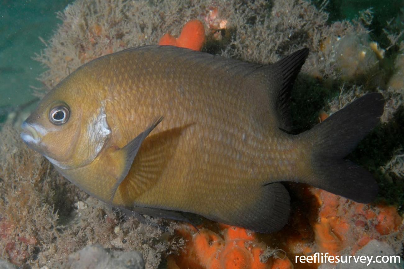 Parma microlepis, Adult, Port Stephens, NSW,  Photo: Tom Davis