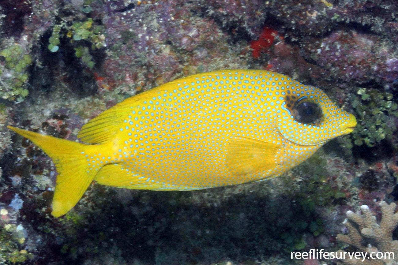 Siganus corallinus, Adult, QLD, Australia,  Photo: Graham Edgar