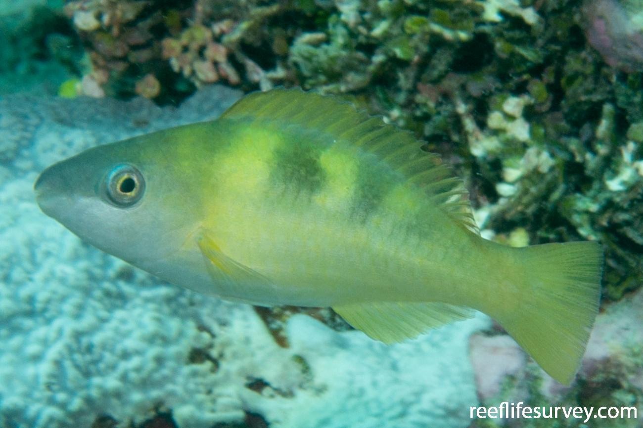 Scarus dimidiatus, Juvenile.  Photo: Rick Stuart-Smith