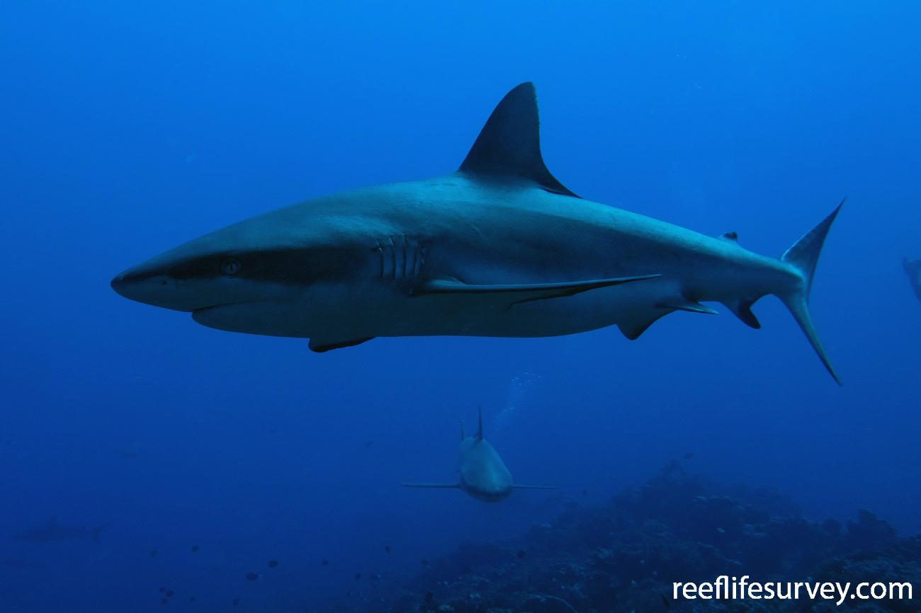 Carcharhinus amblyrhynchos, Adult, Tuamotus,  Photo: Antonia Cooper