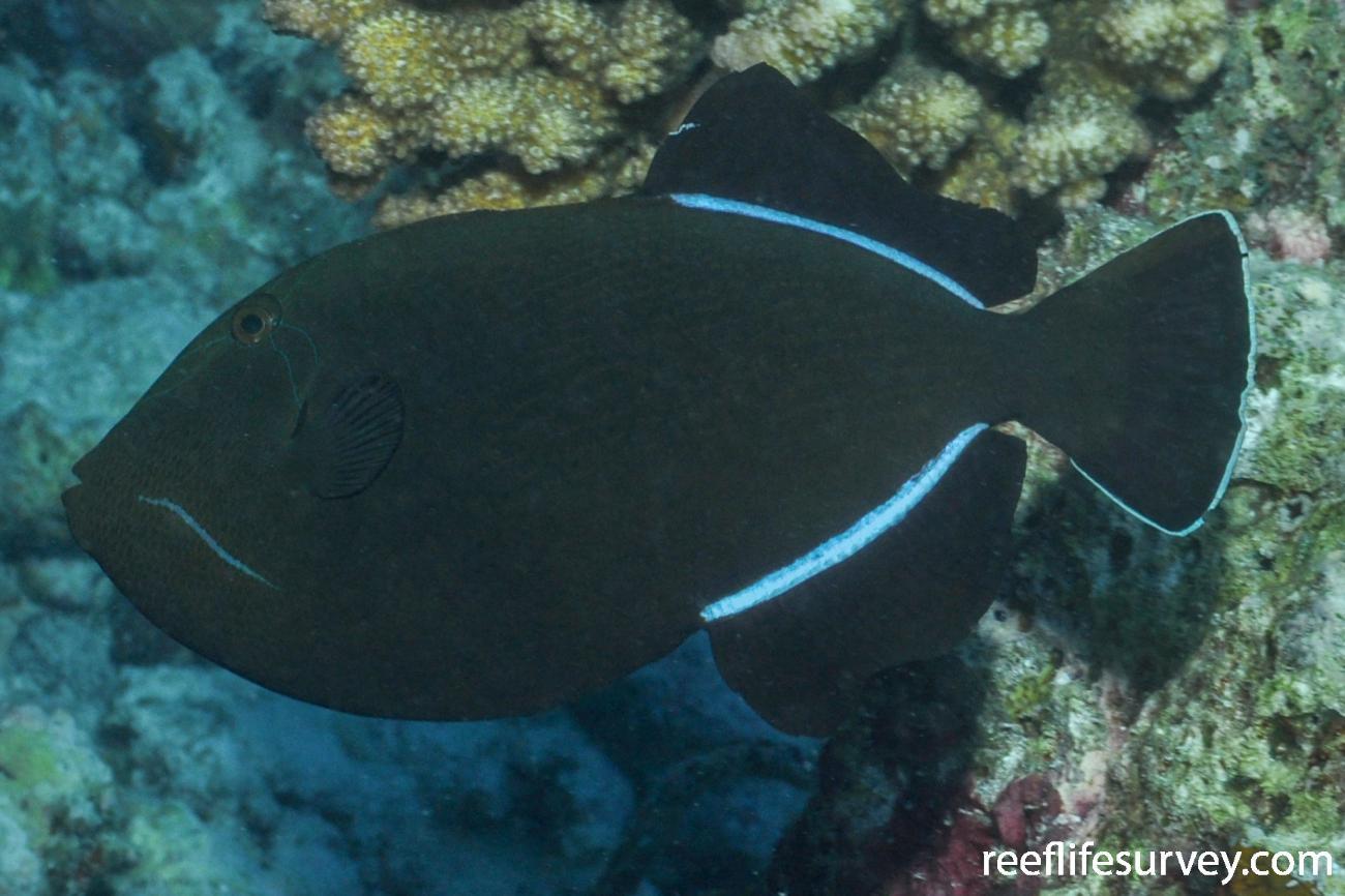 Melichthys indicus, Maldives,  Photo: Rick Stuart-Smith