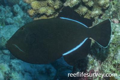 Melichthys indicus: Maldives,  Photo: Rick Stuart-Smith