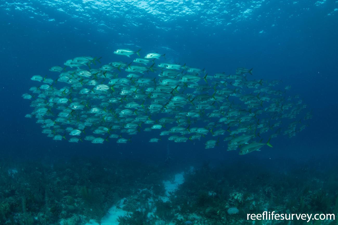 Caranx latus, Belize,  Photo: Rick Stuart-Smith