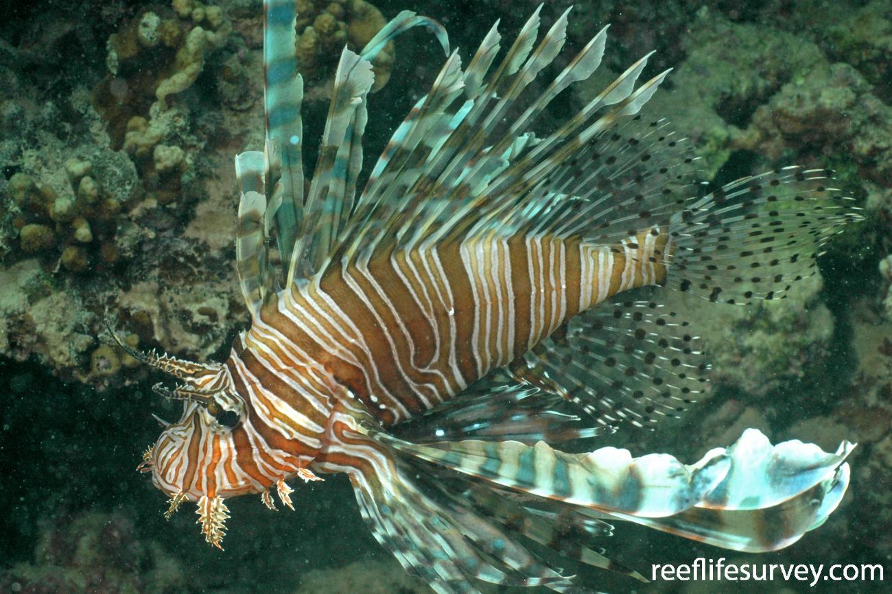 Pterois volitans, Adult, Lord Howe Island, Australia,