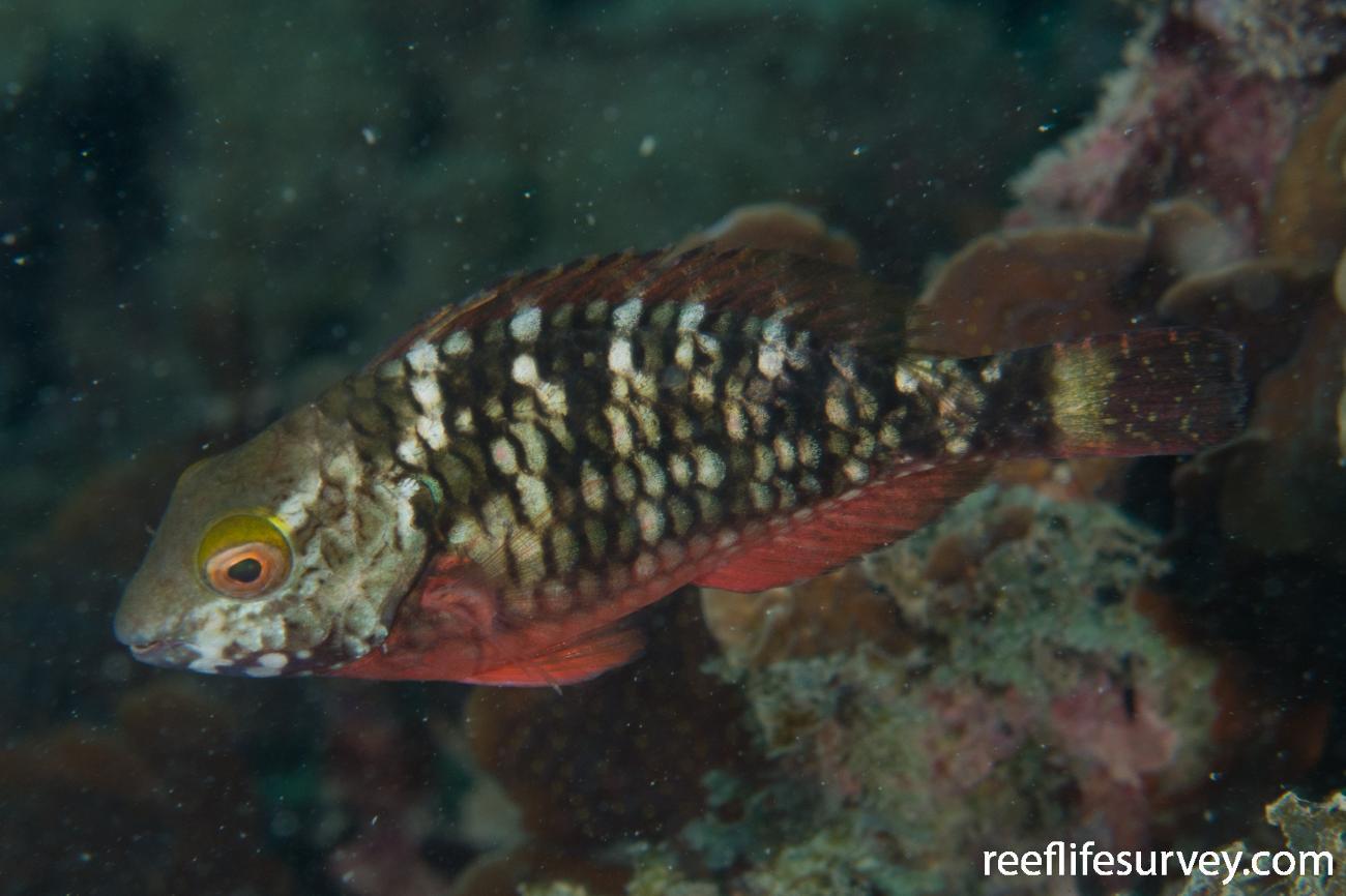 Sparisoma viride, Female, Panama,  Photo: Rick Stuart-Smith