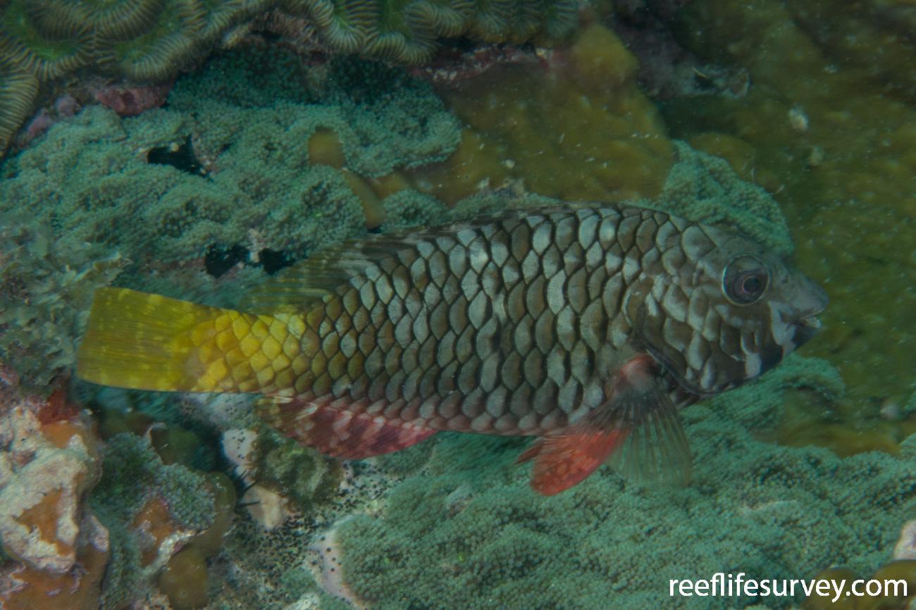 Sparisoma rubripinne, Female, Panama,  Photo: Rick Stuart-Smith