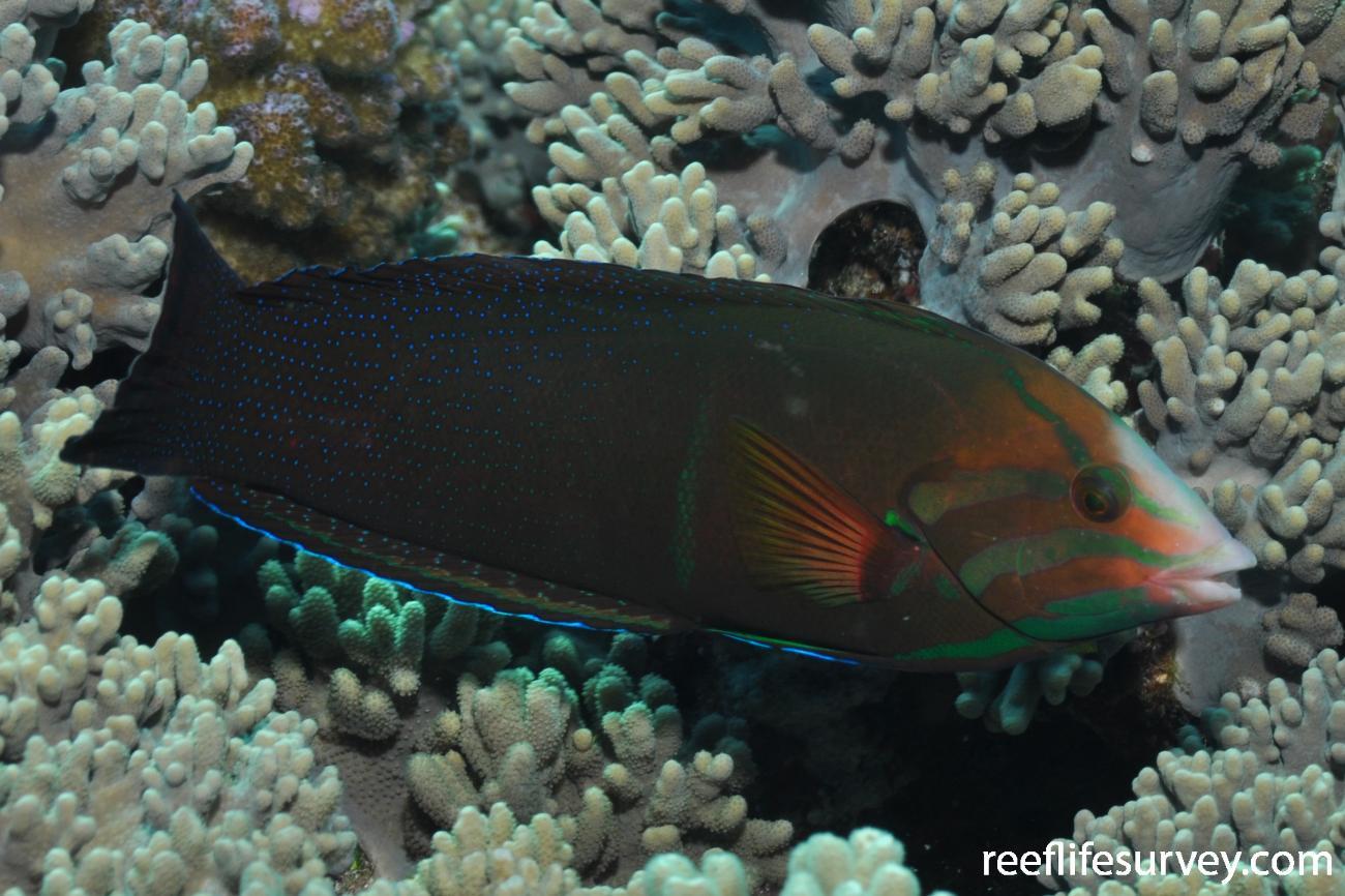 Coris cuvieri, Male, Red Sea,  Photo: Rick Stuart-Smith