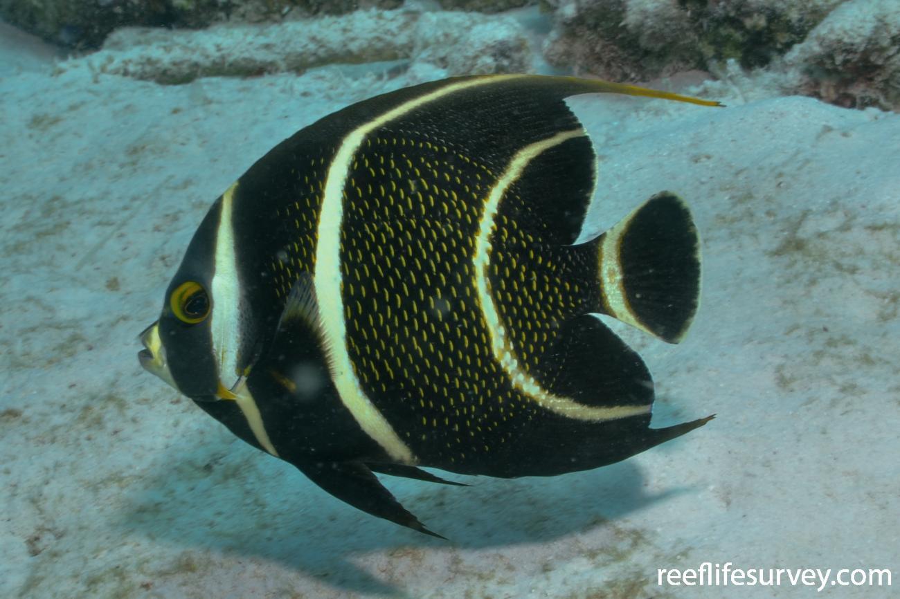 Pomacanthus paru, Bonaire,  Photo: Rick Stuart-Smith