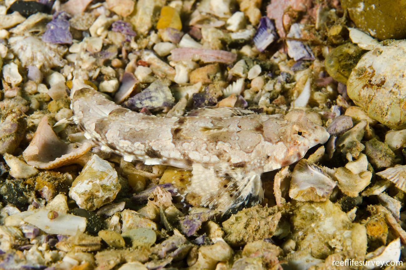 Diplogrammus goramensis, NSW, Australia,  Photo: Ian Shaw