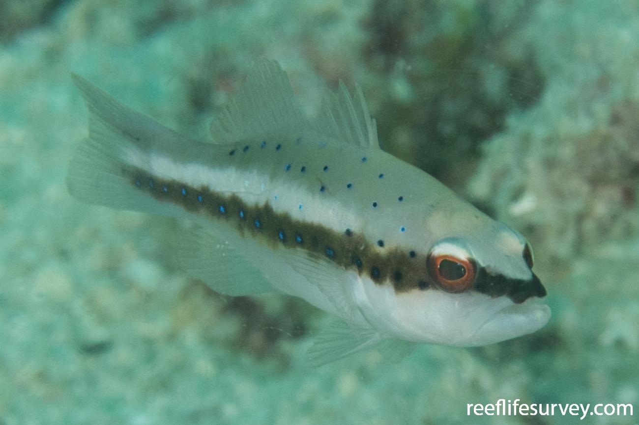 Plectropomus maculatus, Juvenile, QLD, Australia,  Photo: Rick Stuart-Smith
