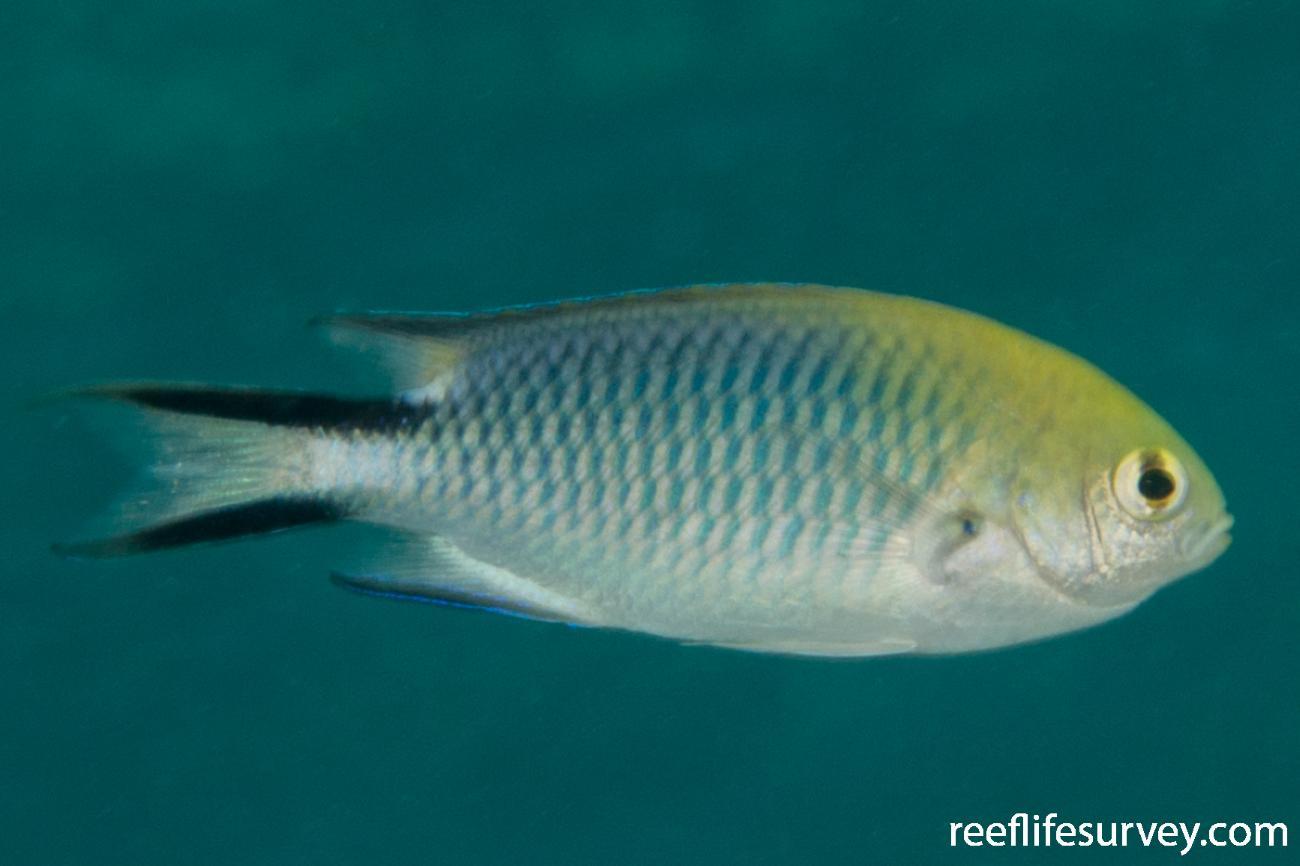 Pomachromis richardsoni, Adult.  Photo: Rick Stuart-Smith