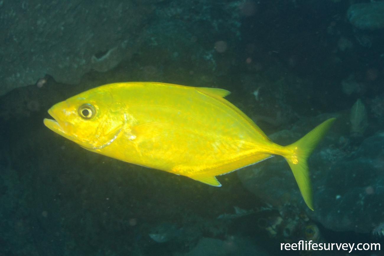 Carangoides bajad, Raja Ampat, Indonesia,  Photo: Graham Edgar