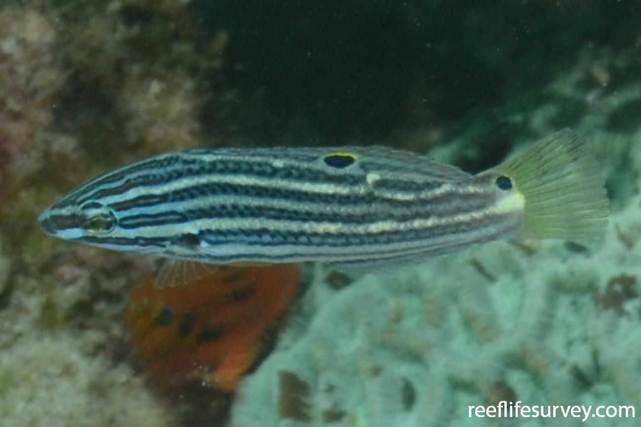 Halichoeres melanochir, Juvenile, Gulf of Carpentaria, Australia,  Photo: Graham Edgar