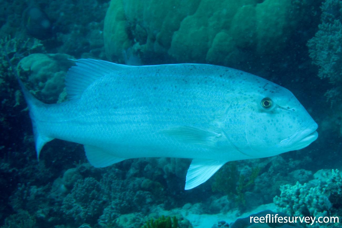 Symphorus nematophorus, Northern Great Barrier Reef, QLD,  Photo: Andrew Green