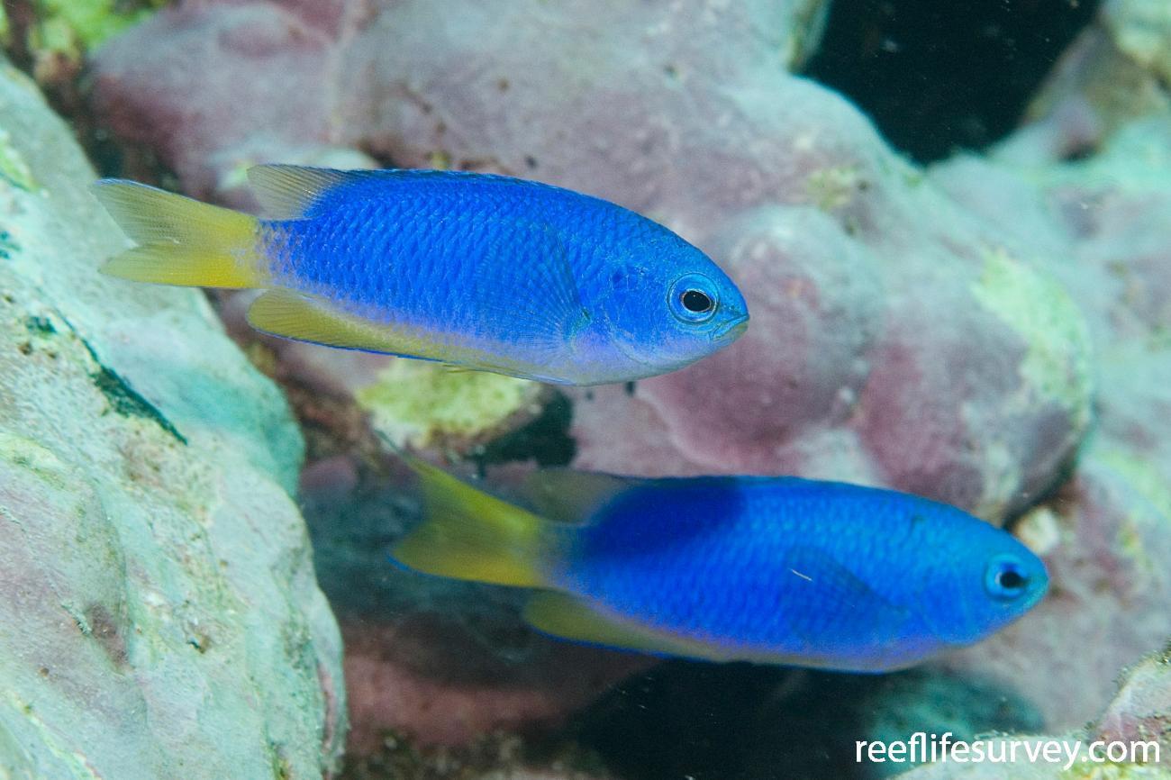 Pomacentrus coelestis, Montague Is, NSW,  Photo: Andrew Green