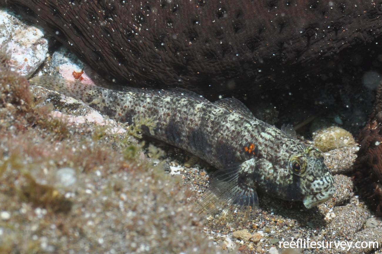 Gnatholepis thompsoni, Canary Islands, Spain,  Photo: Rick Stuart-Smith