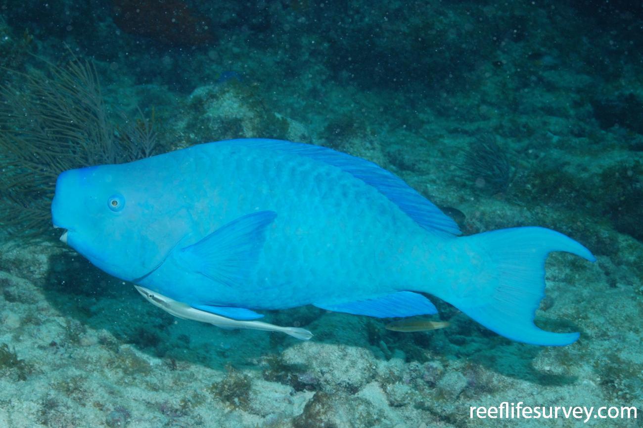 Scarus coeruleus, Male, Florida Keys, USA,  Photo: Graham Edgar