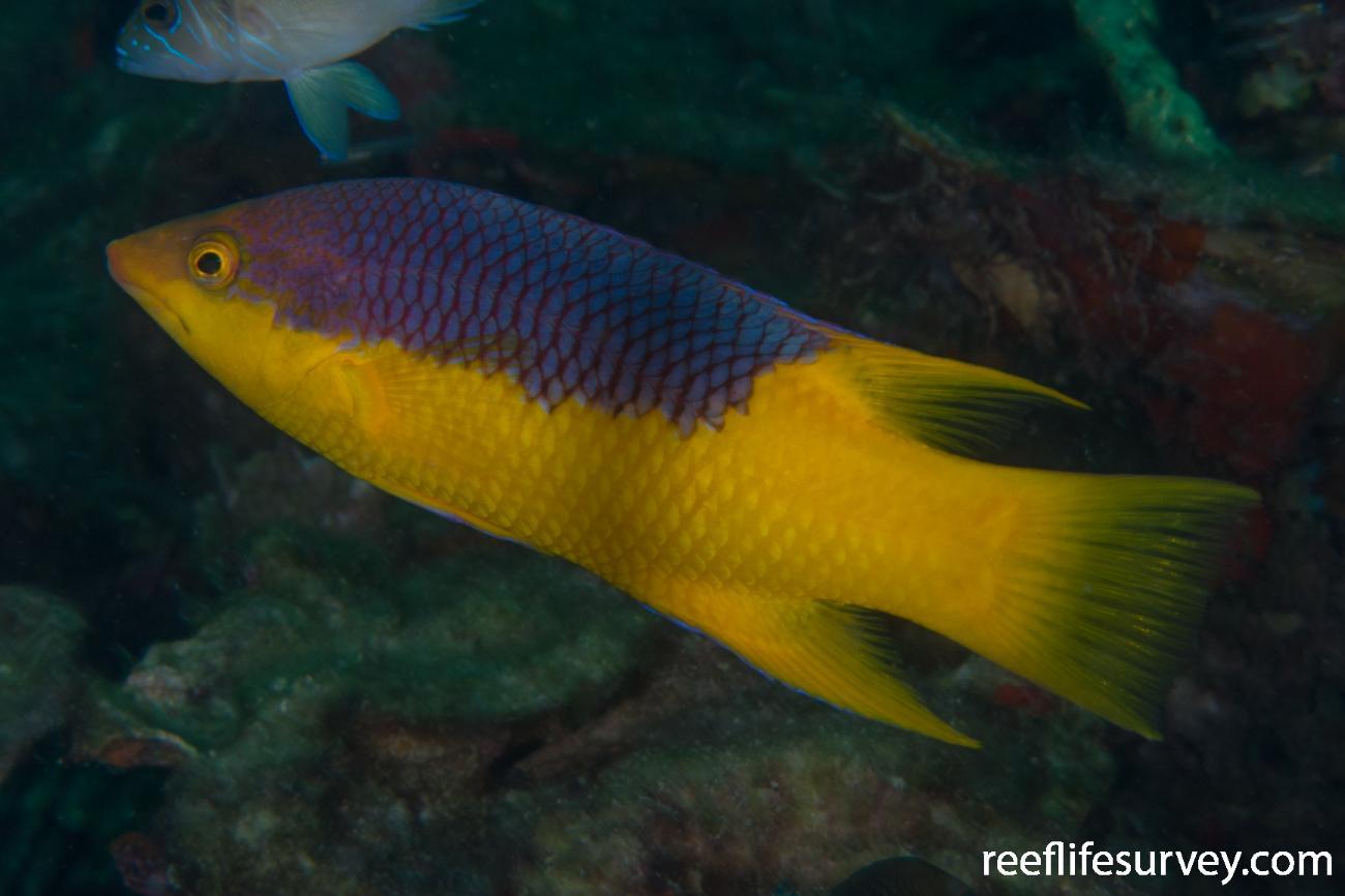 Bodianus rufus, Panama,  Photo: Rick Stuart-Smith